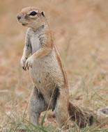 Écureuil de terre du Cap