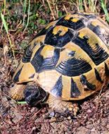 Hermana bruņurupucis