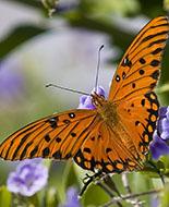 Papillon Passion de Rosi