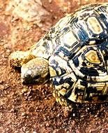 Żółw lamparci