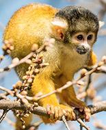 Singe-écureuil de Bolivie