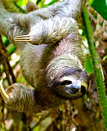 Трипръст ленивец