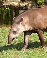 Dél-amerikai tapír