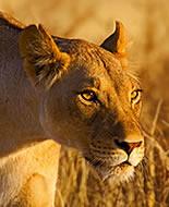 Lion / Lionne
